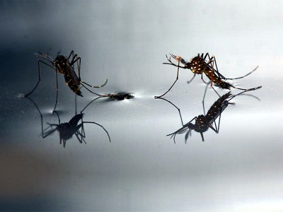 Due esemplari di zanzara tigre